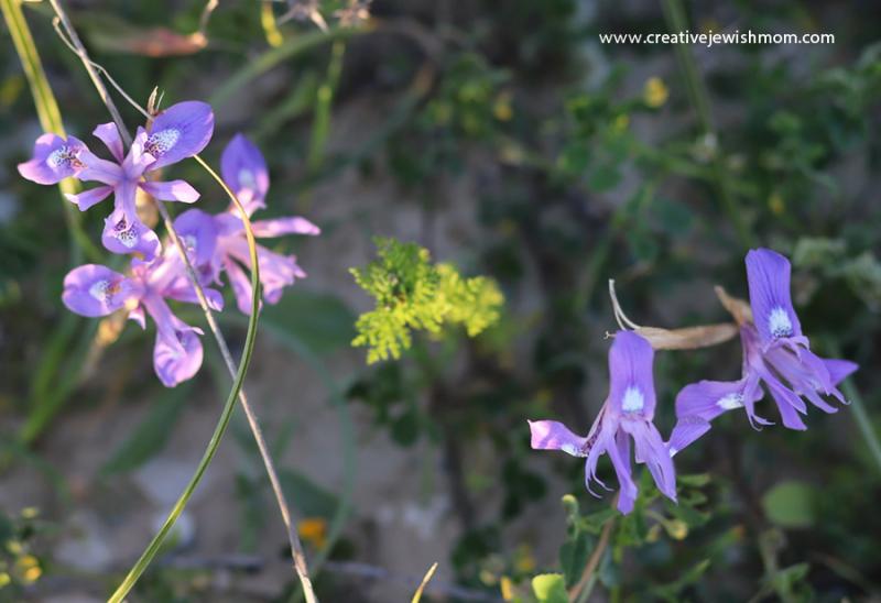 Israel-wildflowers-barbary-nut