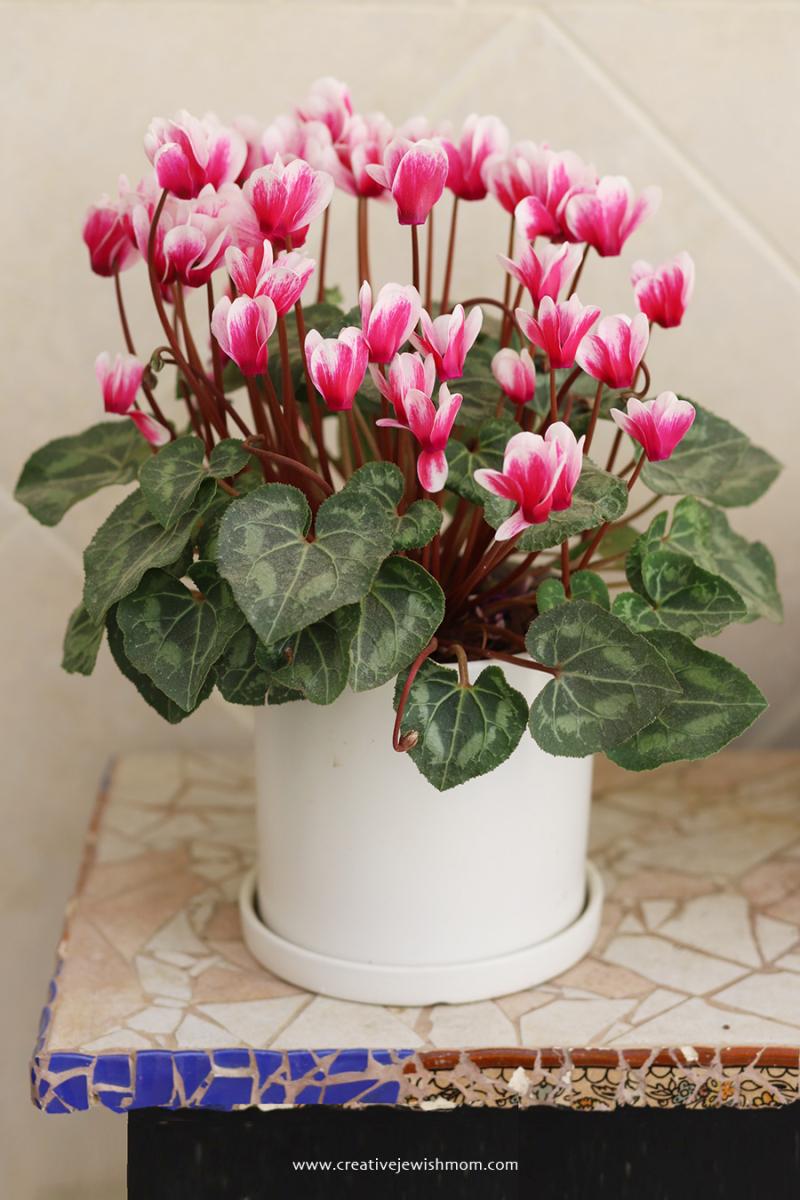 Pink-cyclamen-white-pot