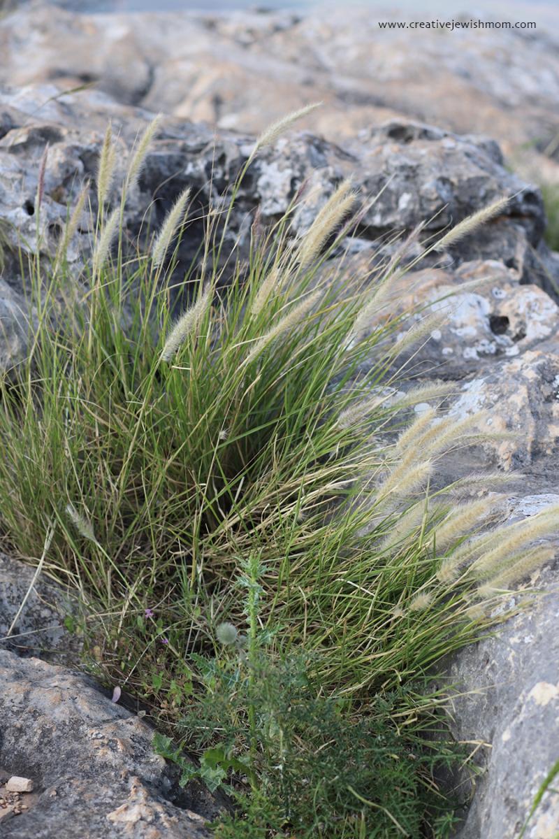 Israel-mount-arbel-wild-grasses