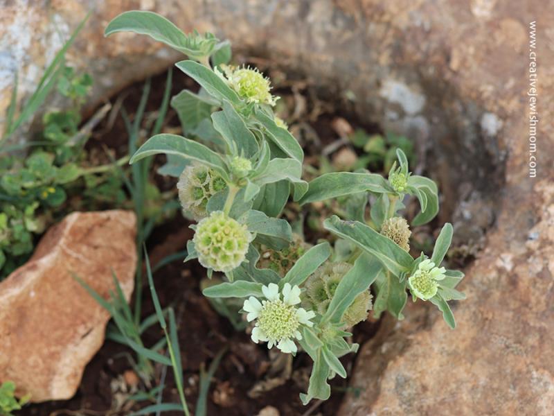 Israel-wildflowers-spring-arbel