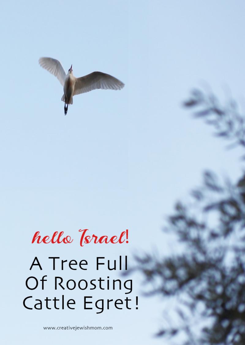 Cattle-egret-israel-bird