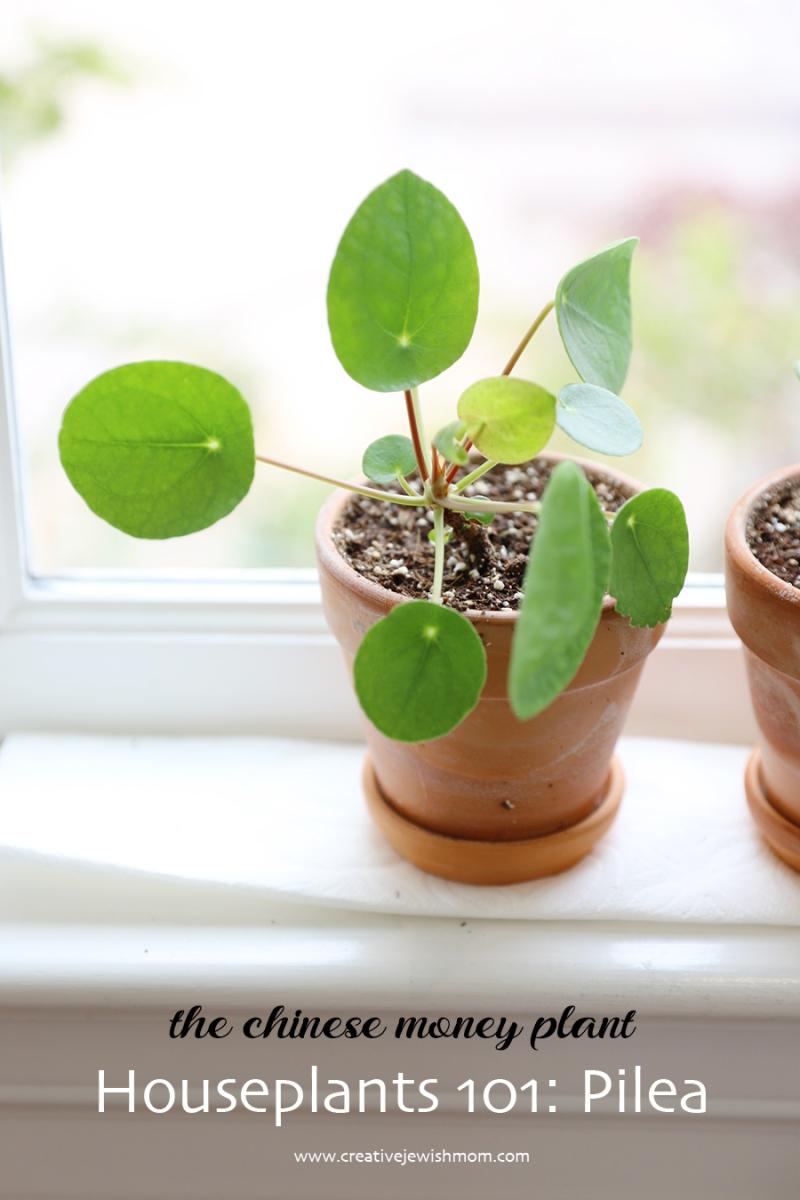 Houseplants-101-pilea