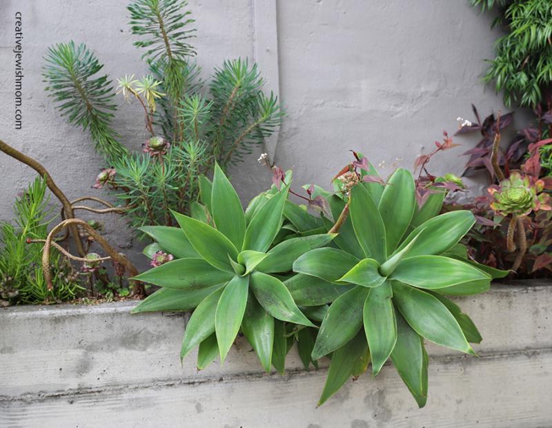 Agave-succulent-garden-multiple-plants