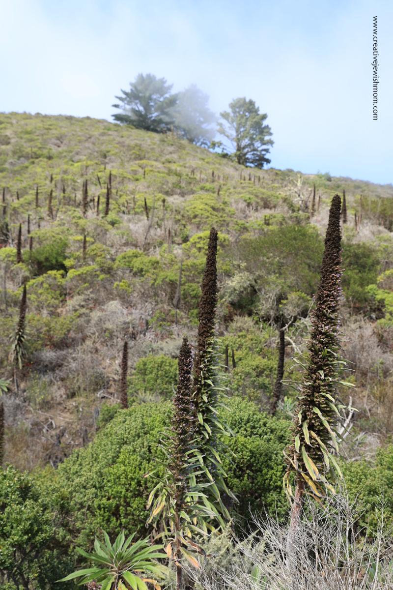 Pacifica-Echium-pininana-grove