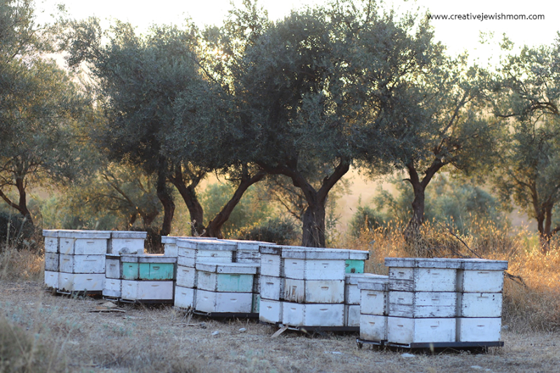 Olive trees and bee hives
