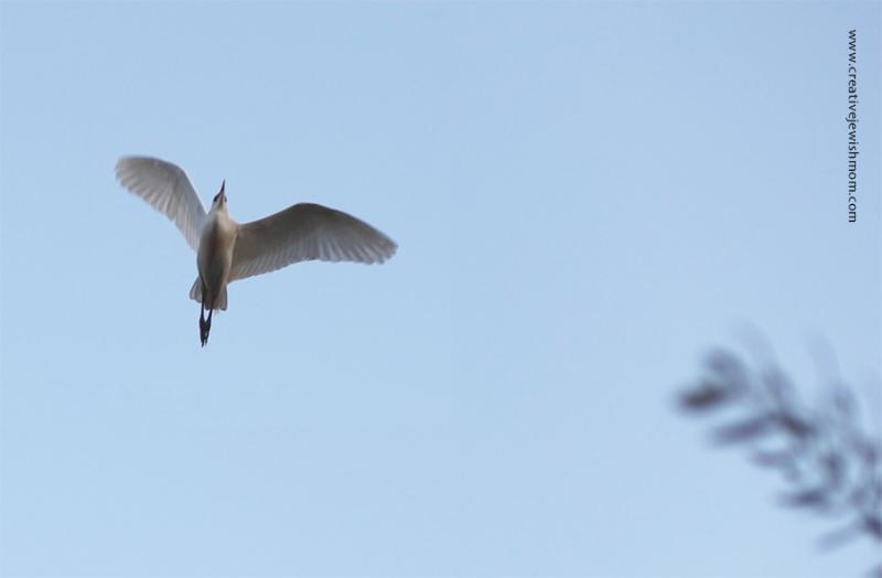 Cattle-egret-israel-in-flight
