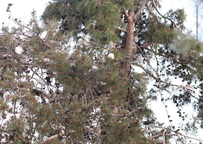 Cattle-egret-in-tree
