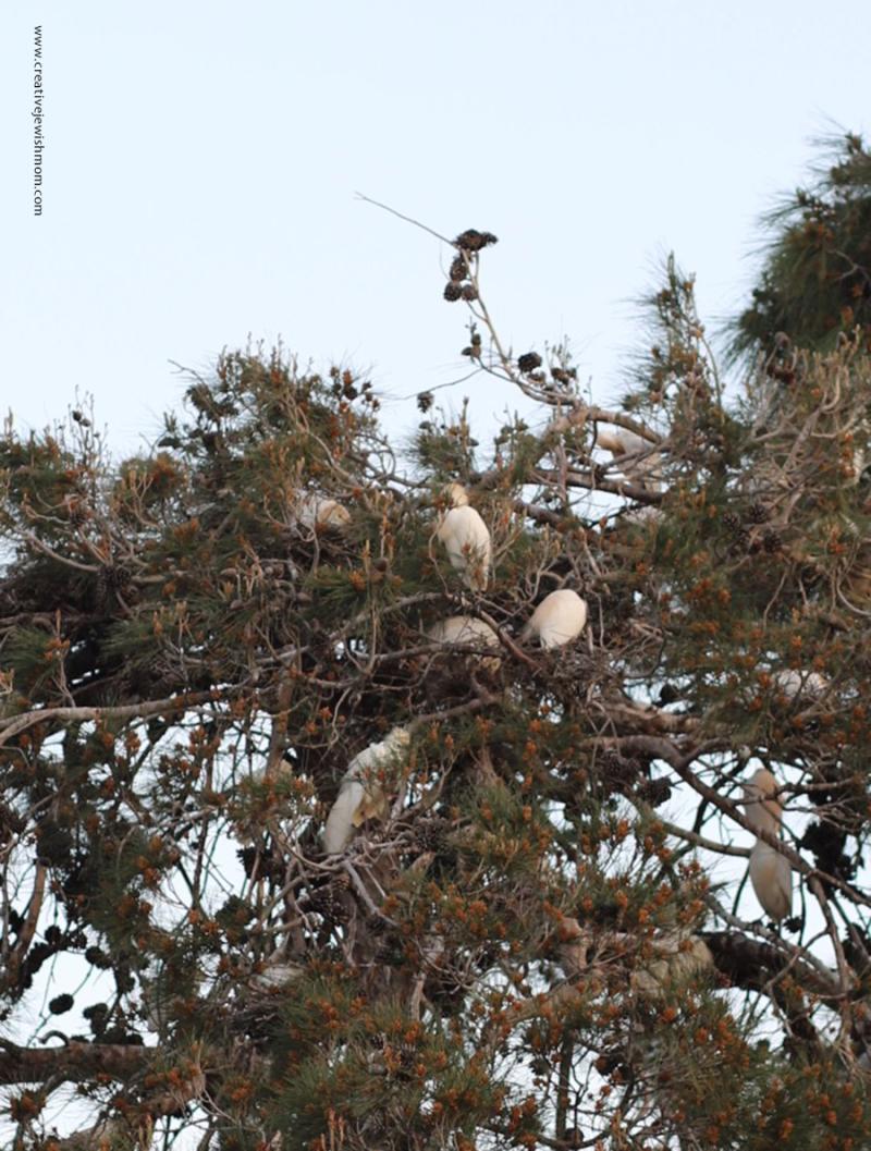 Cattle-egret-in-tree-israel