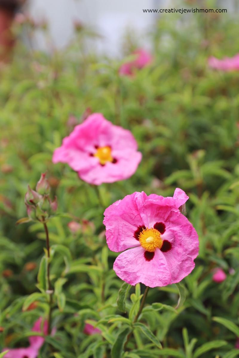 Gum-rock-rose-pink-drought-tolerant-cistus-rock-gum
