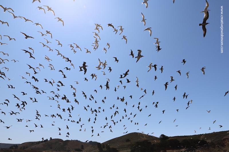 Pacifica-sharp-park-birds-in-flight