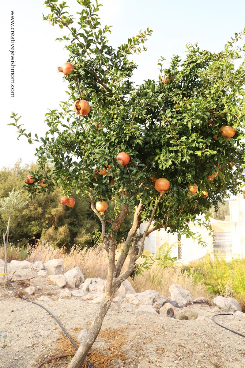 Meron-pomegranite-tree-small