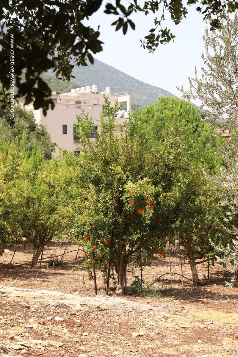 Pomegranate-orchard-meron-northern-israel