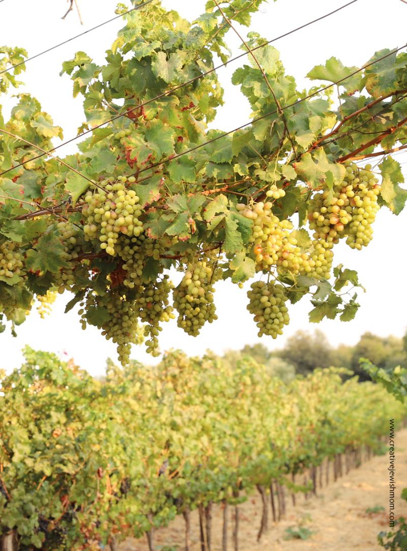 Green-grapes-on-vine-Meron-israel