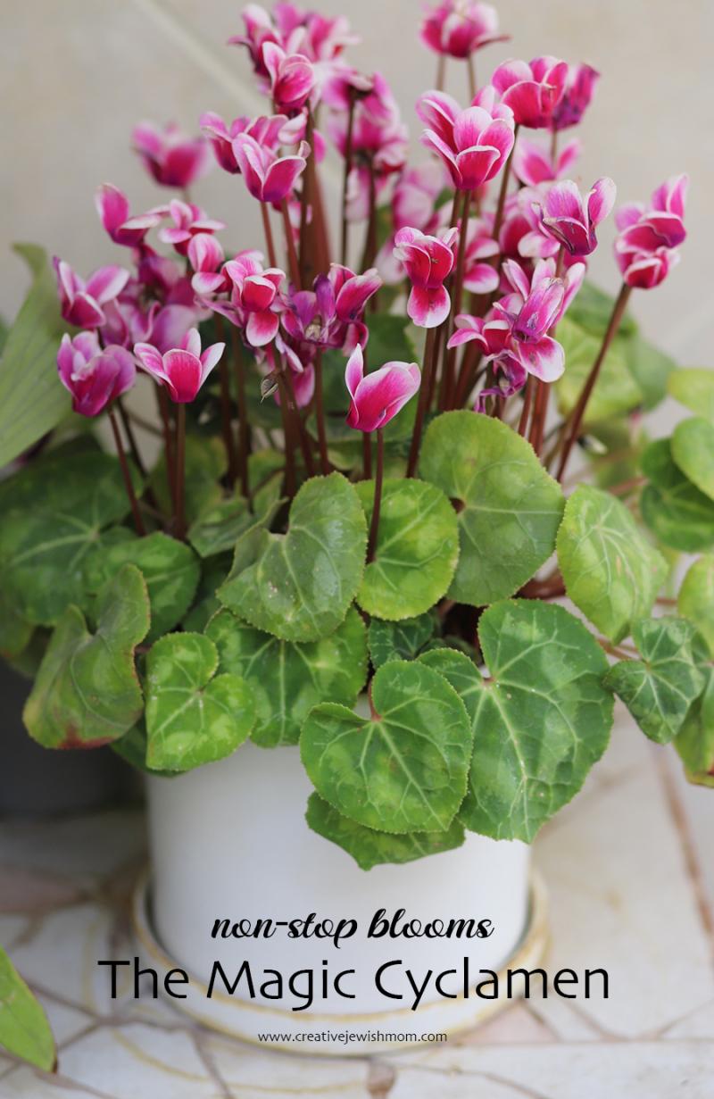 Cyclamen-blooming