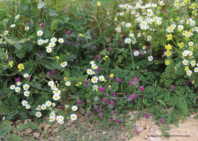 Israel-wildflowers-Mt.Arbel-clover-daisy