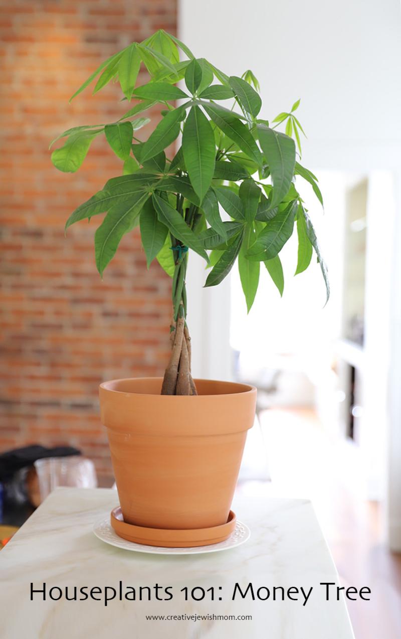 Houseplant-money-tree-pachira-aquatica