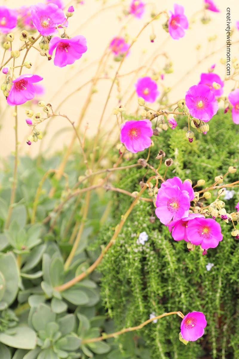 Rock-purslane-succulent-pink-flowers