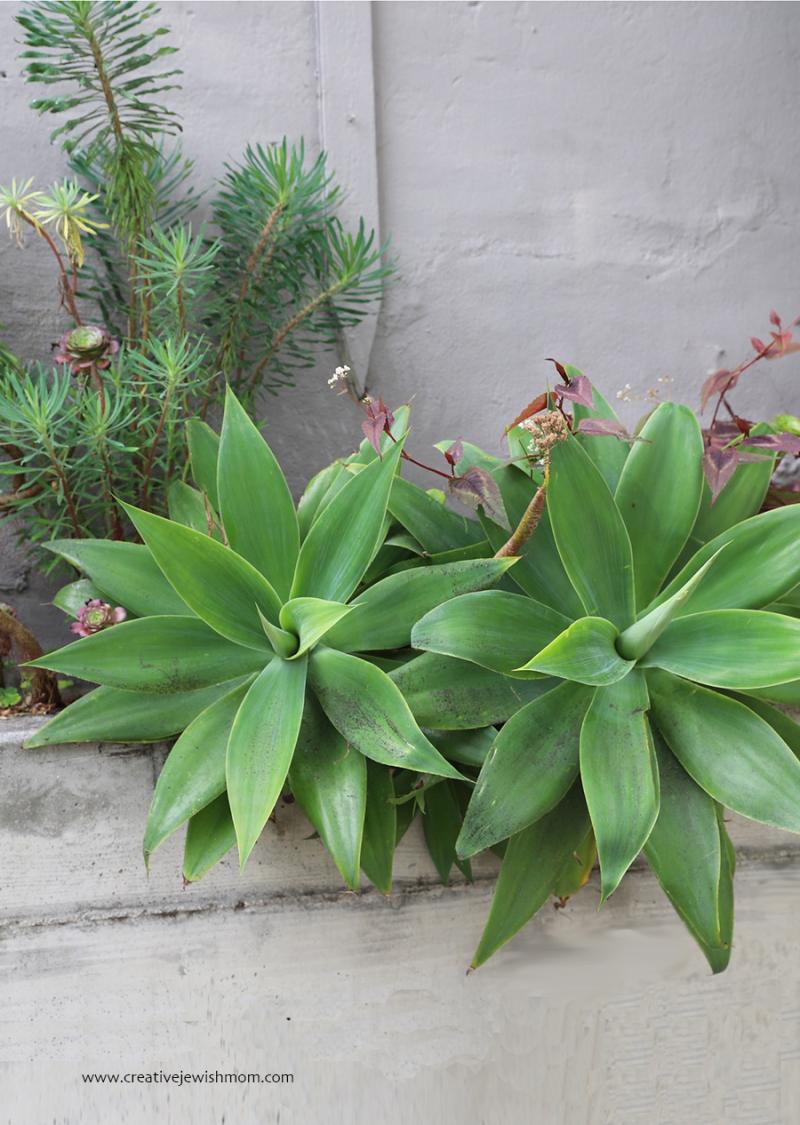 Agave-container-garden-cement-planter