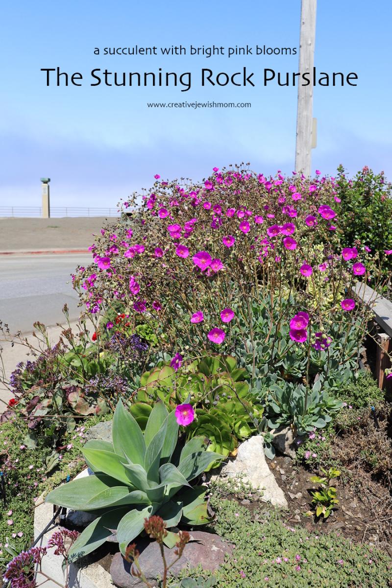 Rock-purslane-succulent-pacifica-california